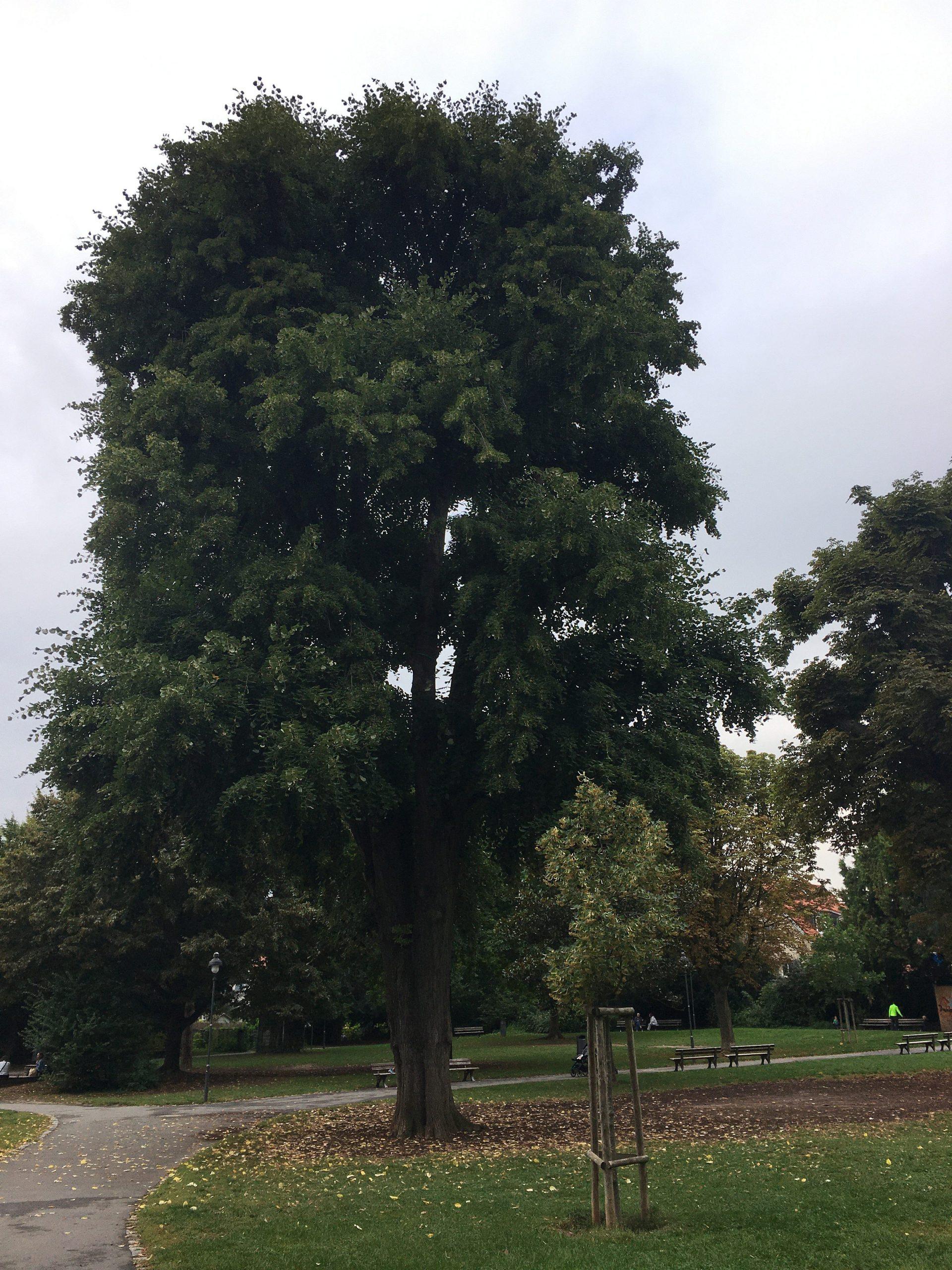 Linden sind beliebte Bäume für Parkanlagen