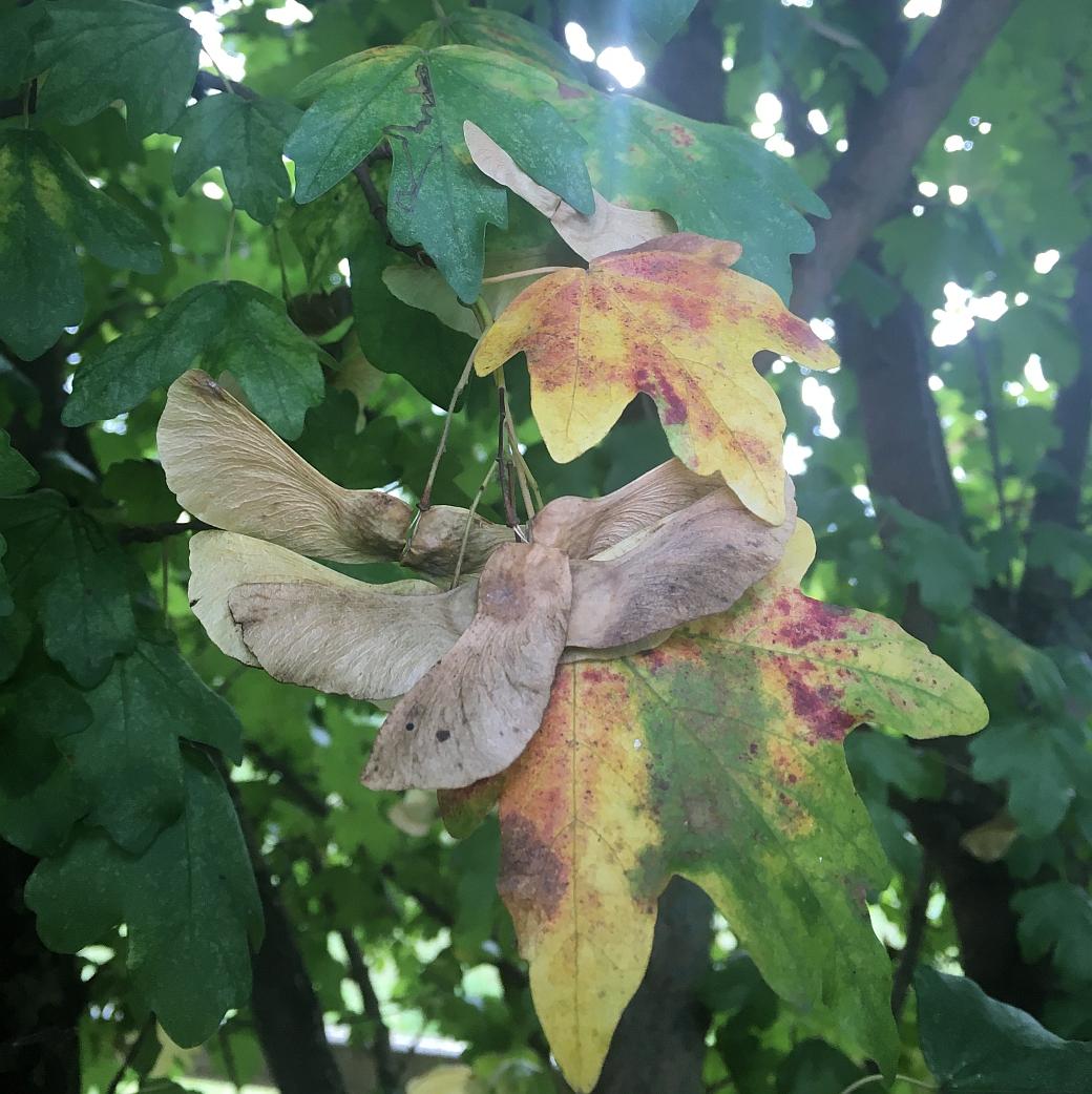Im Herbst werden die Blätter der verschiedenen Ahornsorten besonders farbenreich
